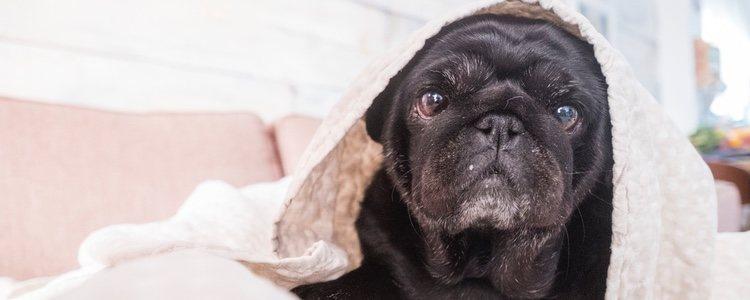 Los carlinos eran considerados perros sagrados en China