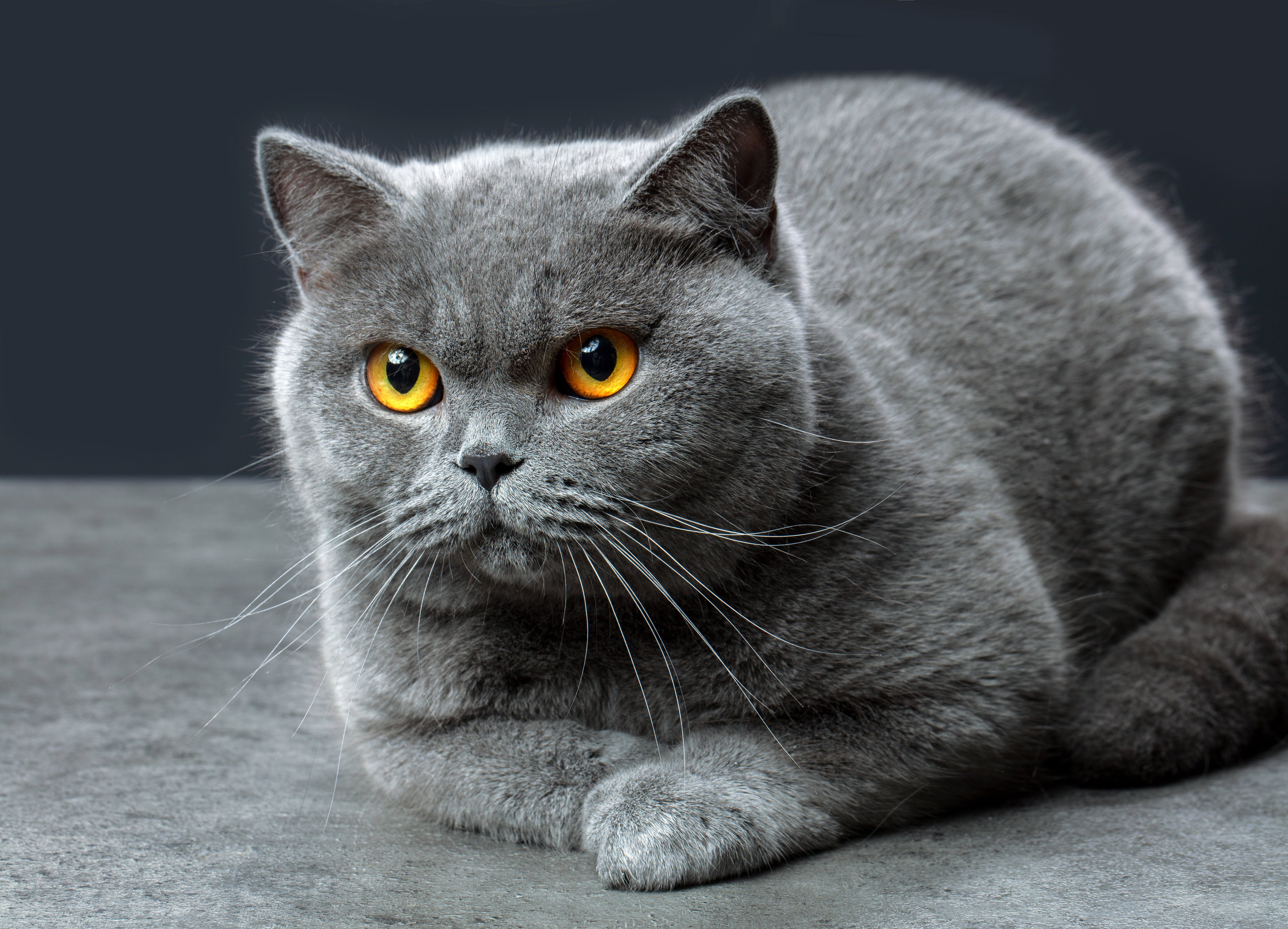 Есть явные симптомы, которые вы заметите у своей кошки как признак беременности.