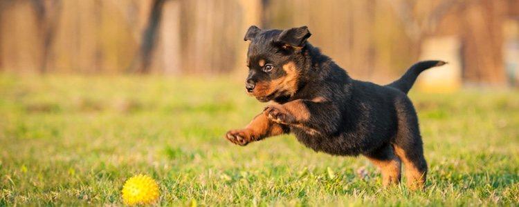 Hay que enseñar a los cachorros a realizar ejercicios para su salud