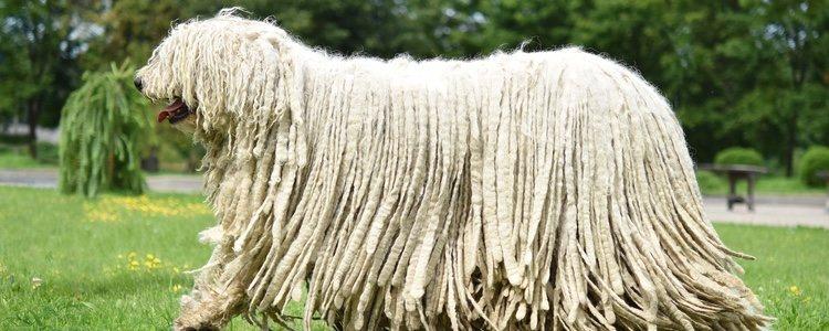Los Komondor deben someterse a una limpieza y cuidado de su pelo exhaustivos