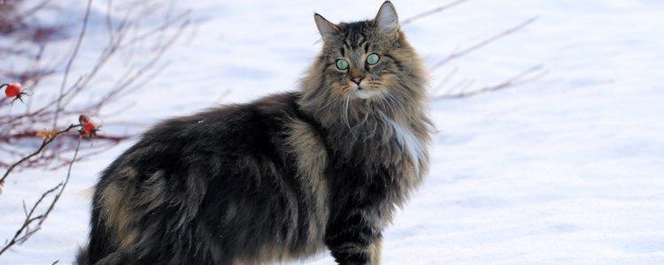 Los gatos Bosque de Noruega son muy inteligentes por su instinto cazador