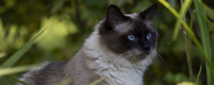 El pelo de un gato Bosque de Noruega puede ser de muchos colores diferentes