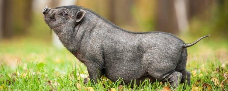 Los cerdos en miniatura se mantienen pequeños durante toda su vida