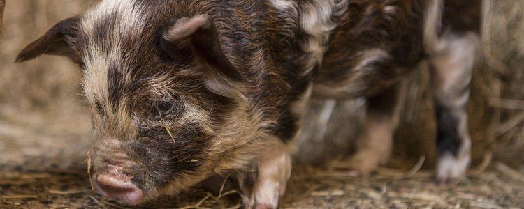 El kunekune es el que mayor similitud guarda con el cerdo vietnamita