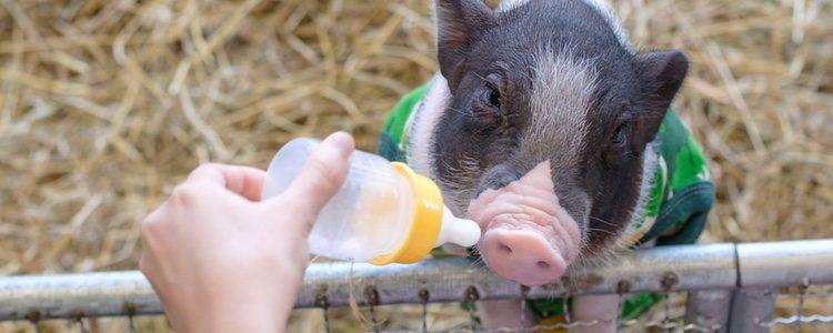 La cantidad de comida que debes ofrecer a un cerdo en miniatura debe ser máximo un 2% de su peso