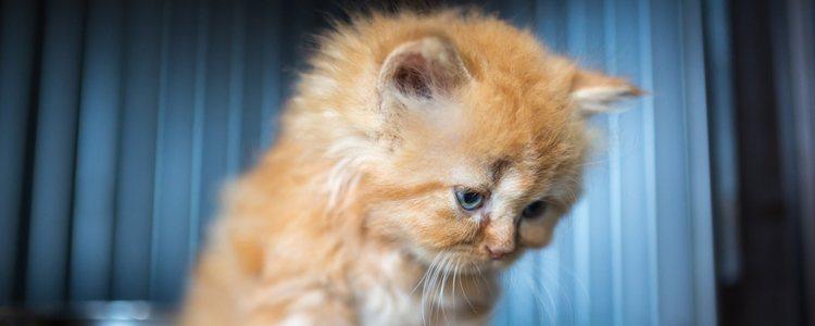 Los gatos angora puede ser de diferentes colores