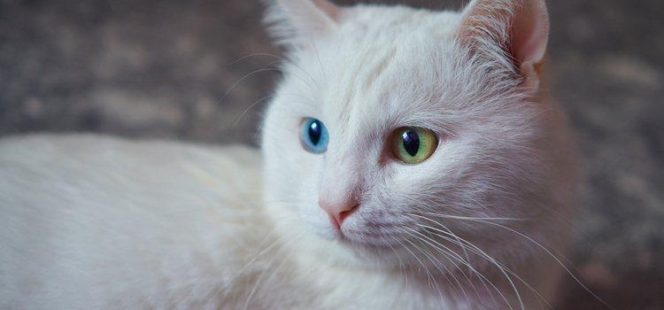El gato angora suele confundirse con el gato persa