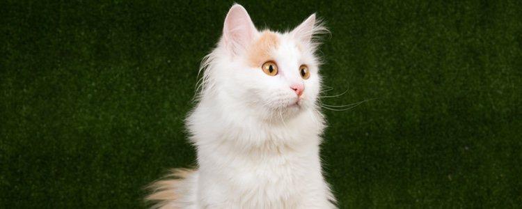 Esta raza felina tiene un instinto cazador que requiere de espacios grandes
