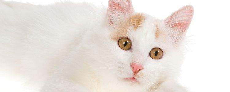 Van turco es un gato con carácter temperamental, ágil, y muy curioso