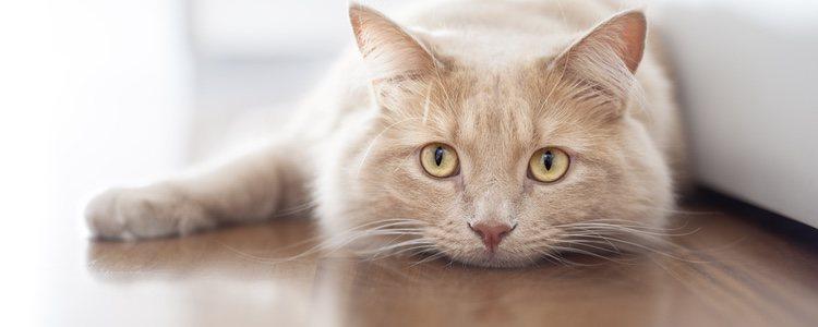 Para combatir el estreñimiento hay que proporcionar al gato una dieta alta en fibra y mucha agua