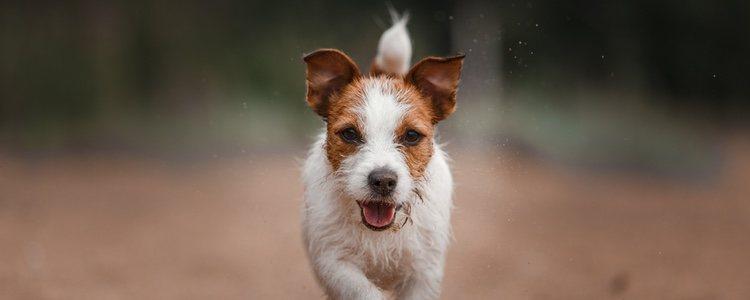 Los perros de caza se caracterizan por ser muy enérgicos y leales