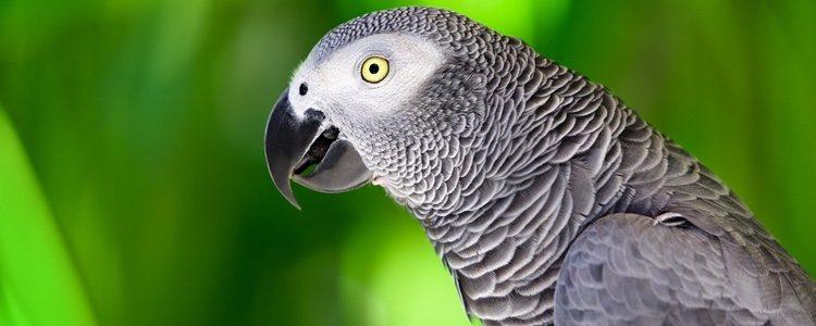 Este ave tiene que enfrentarse a la deforestación y a la demanda de su cabeza y plumas de la cola