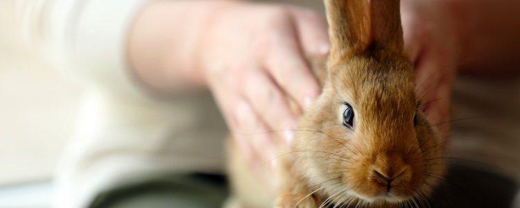 Para saber si tu conejo es macho lo ideal es colocarlo boca arriba para examinarlo con delicadeza