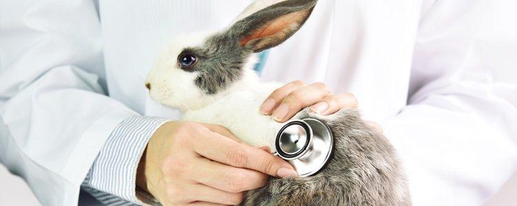 La esterilización del conejo es mejor llevarla a cabo antes de edad porque tiene menos grasa