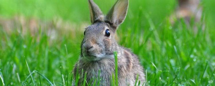 En cuanto a las ventajas de castrar a un conejo hay que destacar que disminuye el olor de la orina