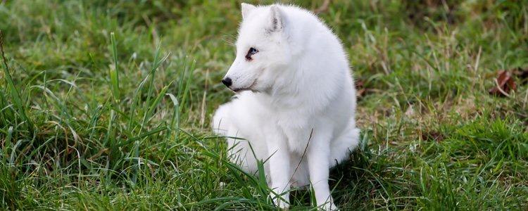 El perro de Groenlandia está acostumbrado a vivir en espacios amplios