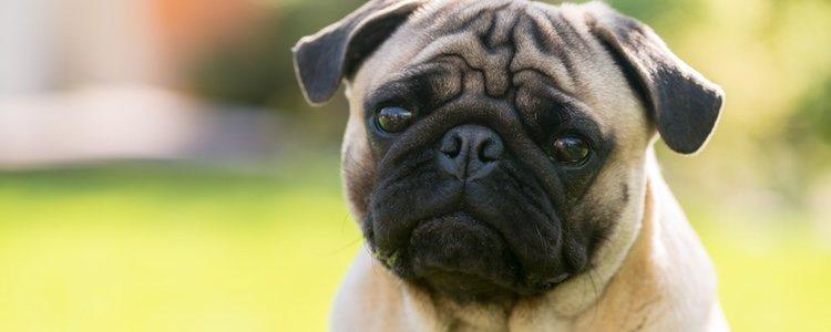 Algunos perros pueden aburrirse de comer siempre lo mismo, esto hará que el animal esté inapetente