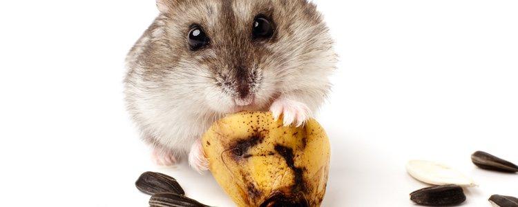 Al ser un roedor, este animal hará uso de sus dientes habitualmente y por eso debemos de evitar que pueda intoxicarse