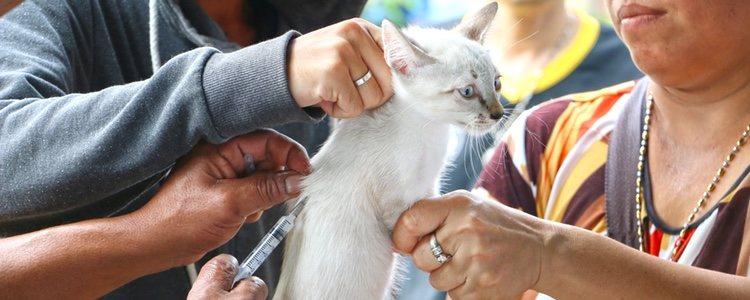 En la actualidad no existe tratamiento alguno para tratar esta enfermedad en nuestro felino