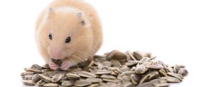 Tienes que preparar el hábitat del roedor de la mejor manera para que se sienta gusto y tranquilo
