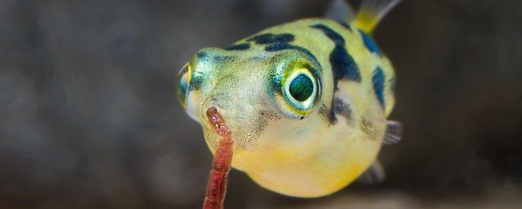 El puffer moteado adora alimentarse de crustáceos y moluscos, además de gusanos, caracoles o larvas de mosquitos