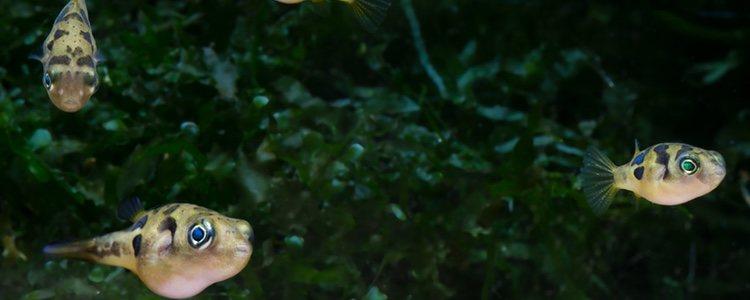 Las hembras de pez globo enano son más grandes que los machos y de un color más blanquezino
