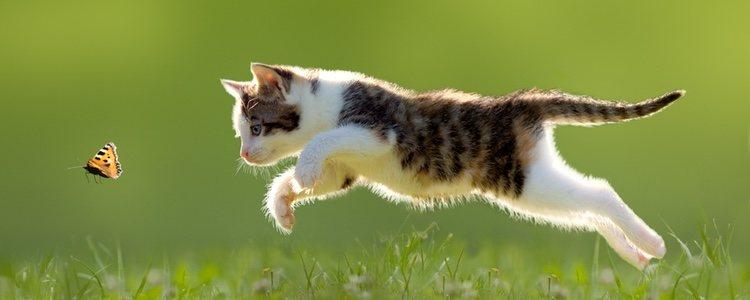 Los gatos buscan salir a la calle cuando les aparece el celo