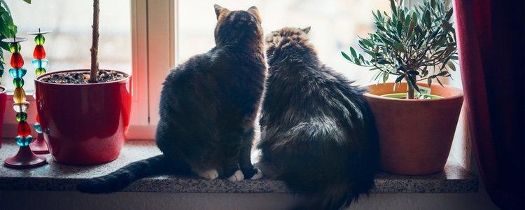 Con la castración se evitará que los gatos intenten escaparse de casa