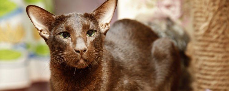 Estos gatos son muy atentos y cariñosos con los demás, pero su carácter es muy independiente