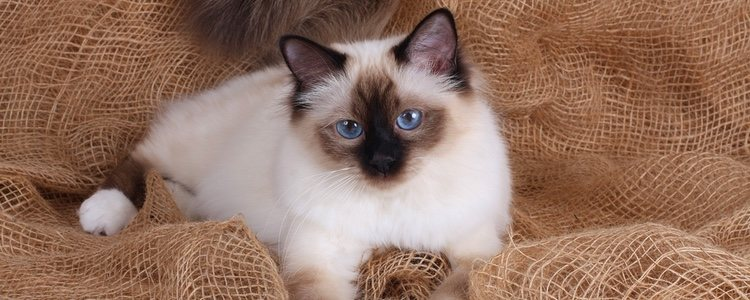 Los gatos birmanos se caracterizan por sus ojos azules y por tener un carácter tranquilo y curioso