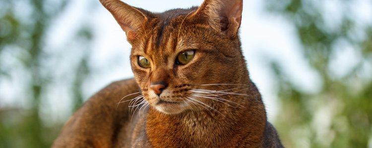 Los gatos abisinios son muy alegres y activos, por lo que es muy importante que juegues con ellos