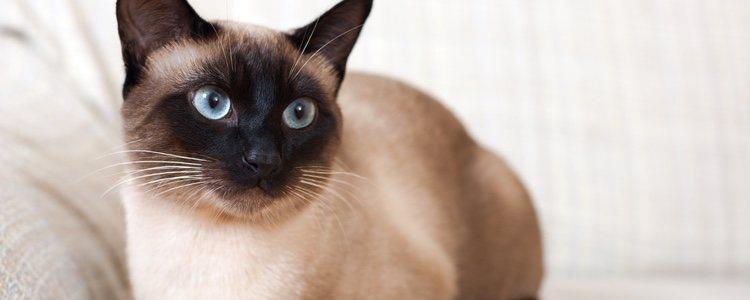 Los gatos siameses son muy curiosos y cariñosos, teniendo la necesidad de comunicarse con sus dueños