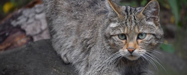 Estos gatos son nocturnos, por lo que saben adaptarse muy bien a nuevos medios