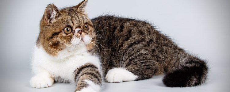 Los gatos exóticos son muy fieles y muy familiares