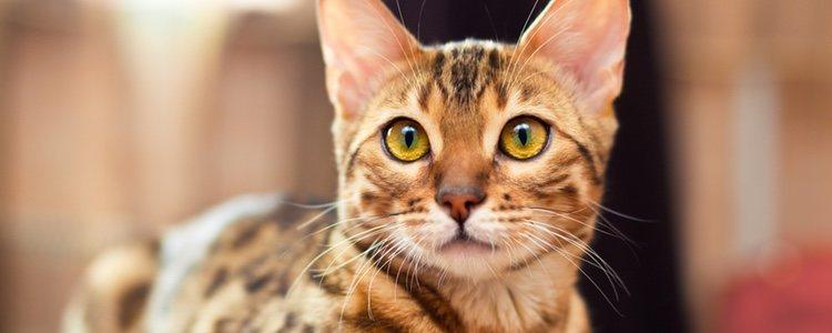 Son gatos fuertes e hiperactivos, por lo que la curiosidad es una de sus características
