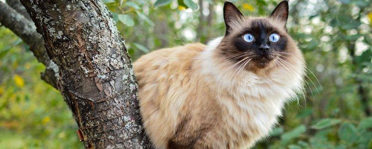El gato balinés tiene gran actividad y su característica más destacada es su maullido