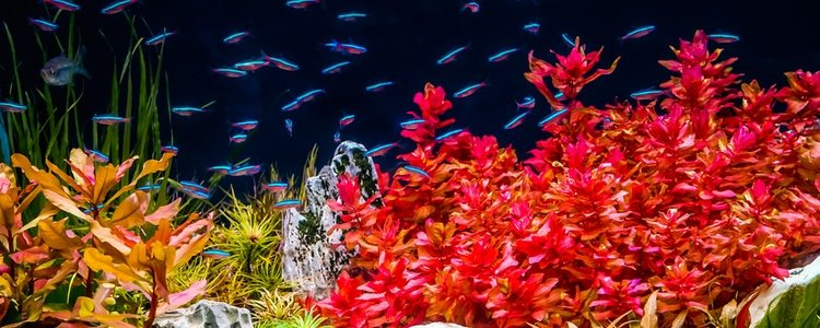 Las plantas de acuario, al igual que el resto de plantas, necesitan echar raíces y demandan luz