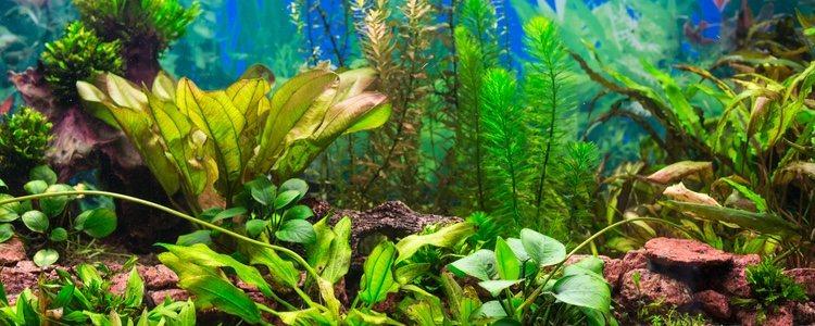 Con las planta de acuario se pueden crear juegos visuales que ayudan a su decoración