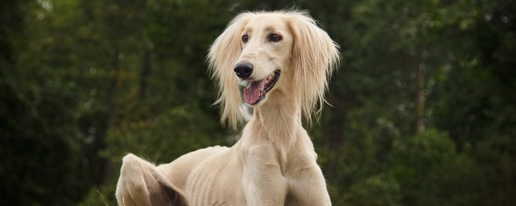 El ligero peso de este perro es una de las razones de su gran agilidad