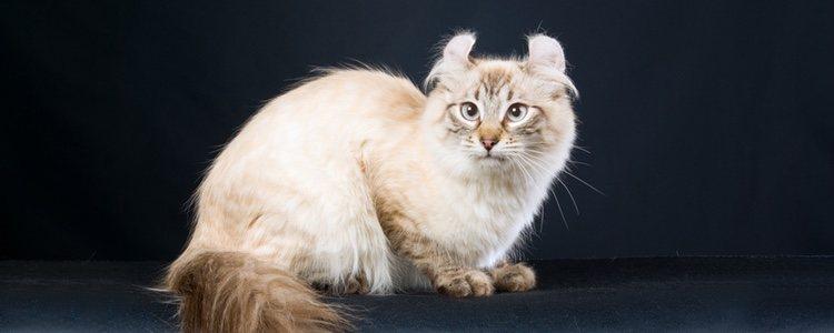 Este gato fue descubierto en 1991 y admitido en 2002 por la FIFE