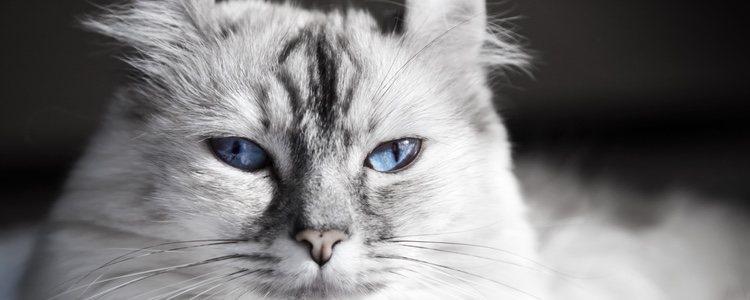 Esta raza de gato es muy sociable y juguetona, por lo que adora la compañía