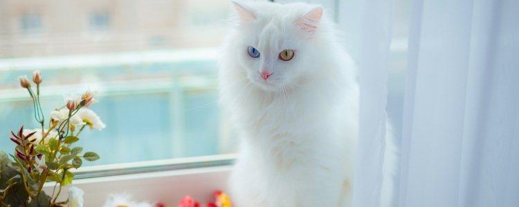 Son gatos cariñosos, activos y muy independientes