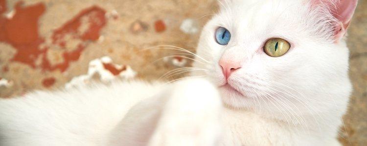 Los gatos de Angora son de tamaño mediano y poseen una gran inteligencia