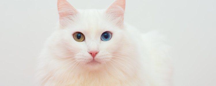 Para que el pelaje de tu gato se vea suave y sedoso debes desenrredarlo con un peine de púas separadas