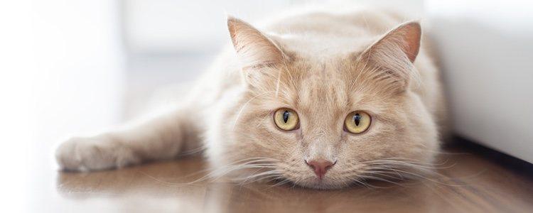 Si tu gato está decaído o cansado también puede que tenga pulgas