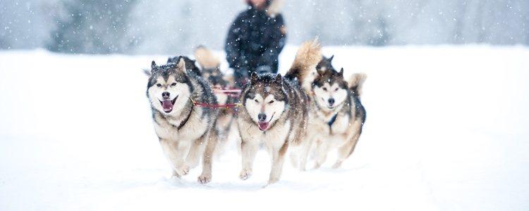 Que sean perros de trineo no es la única característica de los llamados perros husky
