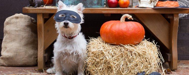 Las mascotas también pueden celebrar la noche del terror con un atuendo apropiado