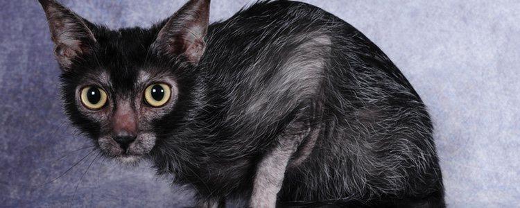 Esta raza de gato tiene su origen en EEUU y fue descubierta en 2010, pero aún no es considerada raza oficial