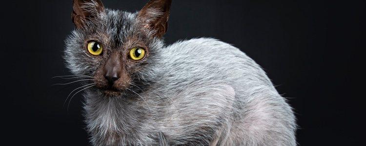 El gato lobo tiene el pelo corto, incluso tiene zonas donde no le crece mucho pelo