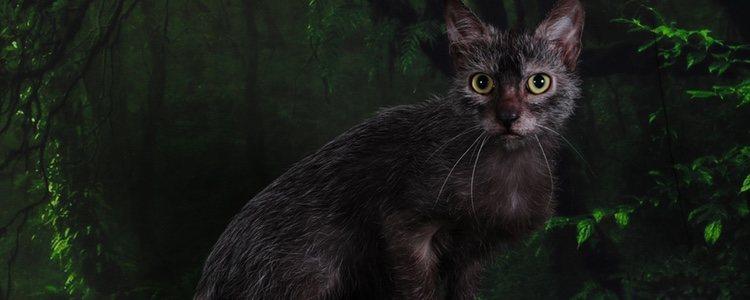 Estos gatos tienen los mismos cuidados que cualquier otra raza de felino
